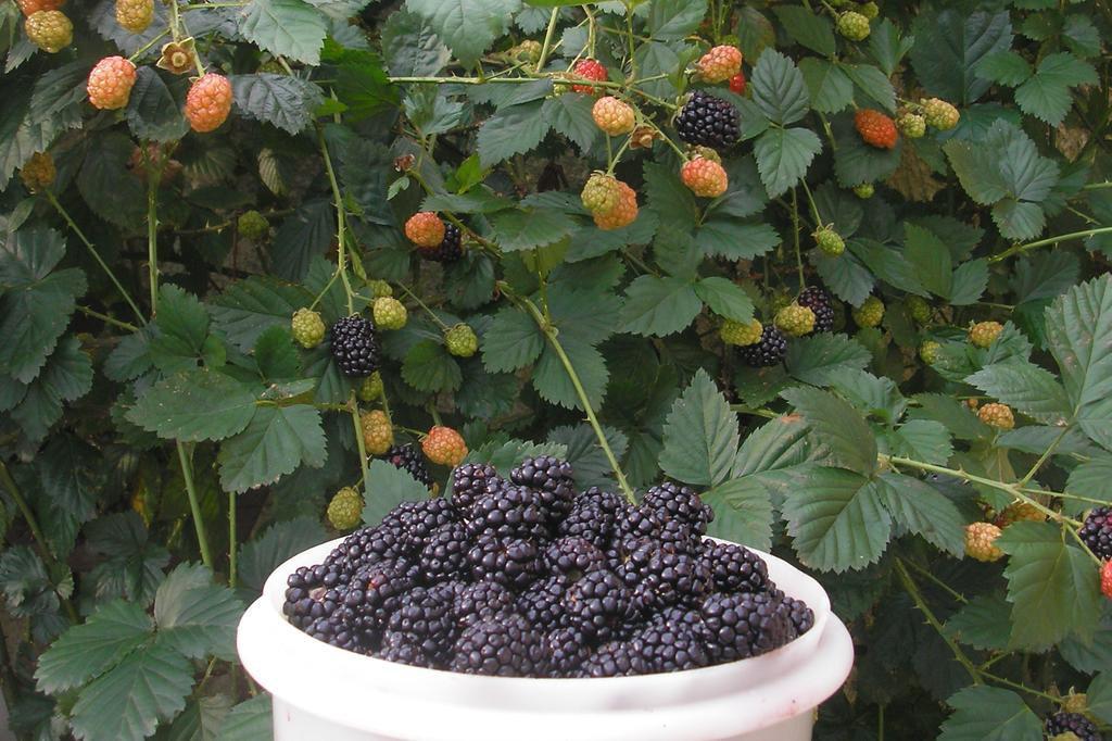 Amado Espécies de frutíferas se desenvolvem em vasos, colorindo sacadas  RF79